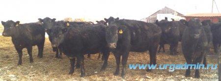 Проведение работы по пересчету маточного поголовья мясного скота в Юргамышском районе